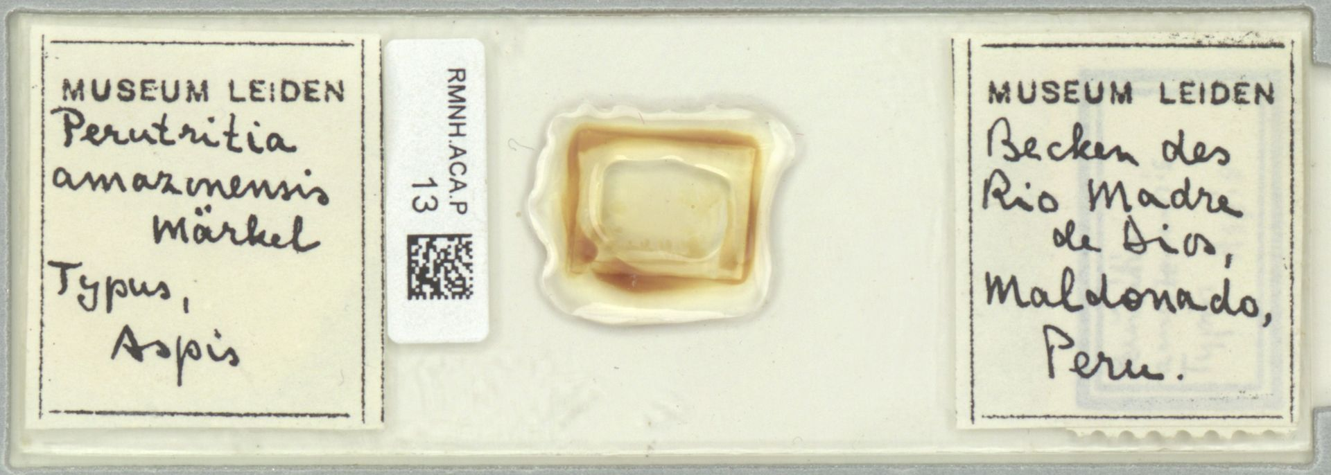 RMNH.ACA.P.13   Perutritia amazonensis Märkel