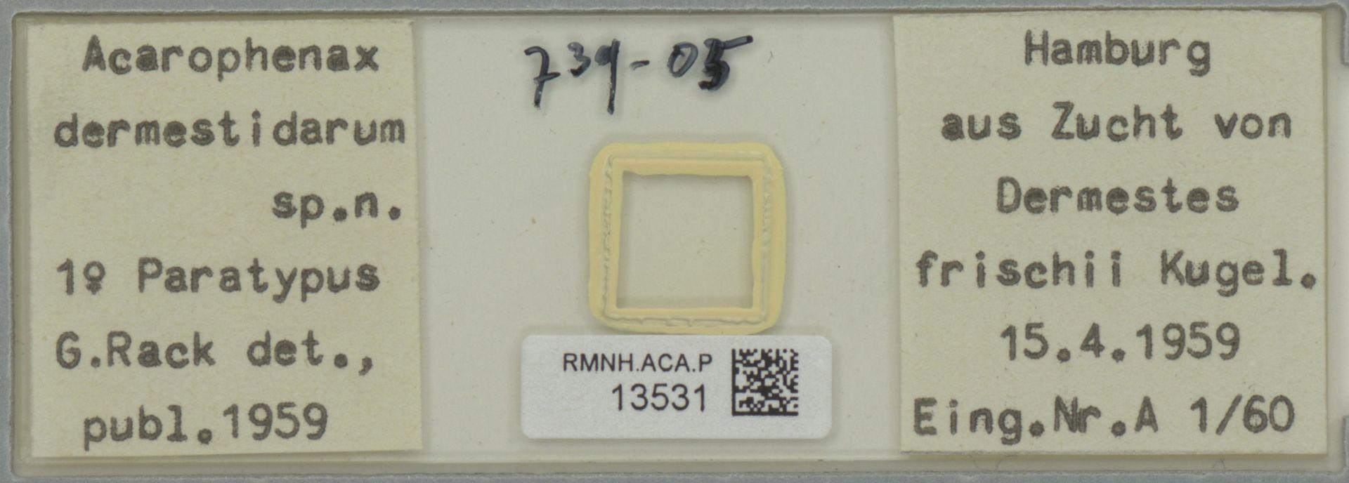 RMNH.ACA.P.13531   Acarophenax dermestidarum