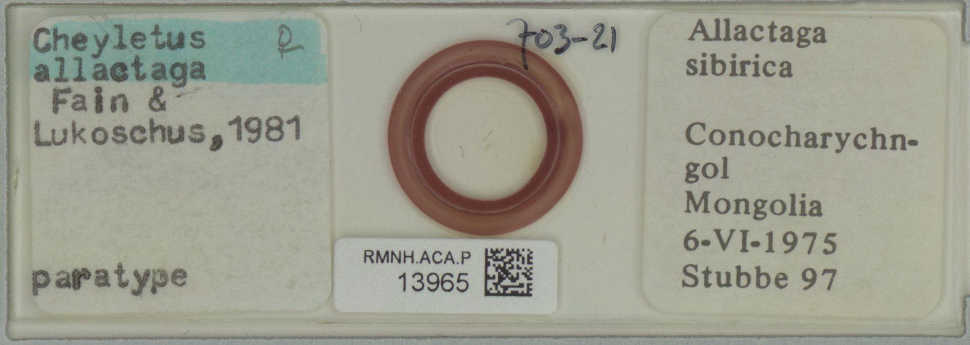 RMNH.ACA.P.13965 | Cheyletus allactaga Fain & Lukoschus, 1981