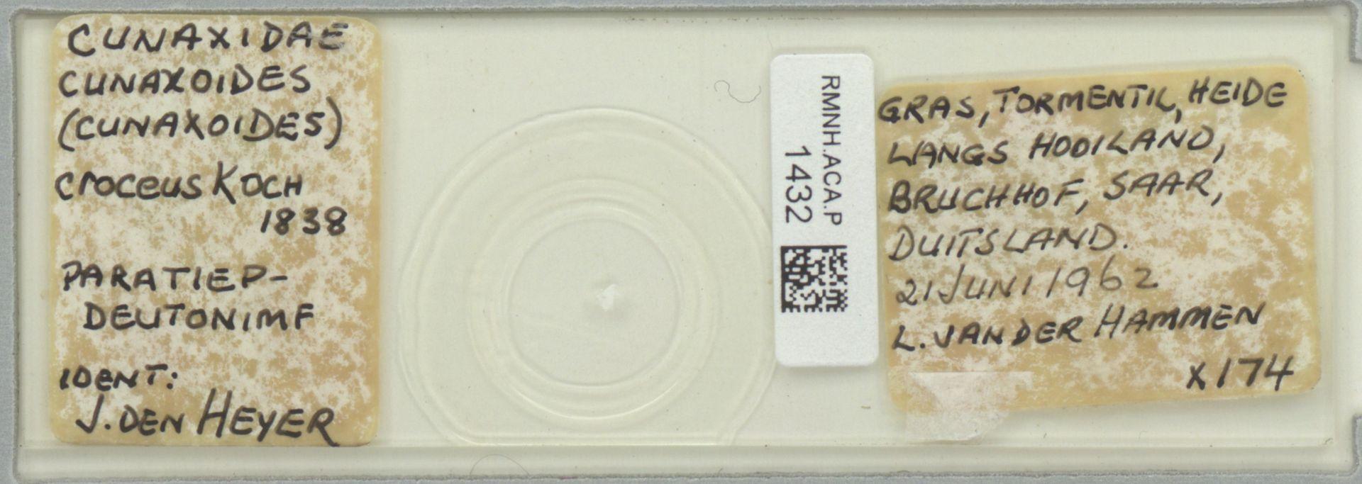 RMNH.ACA.P.1432   Cunaxoides (Cunaxoides) croceus C.L.Koch, 1838