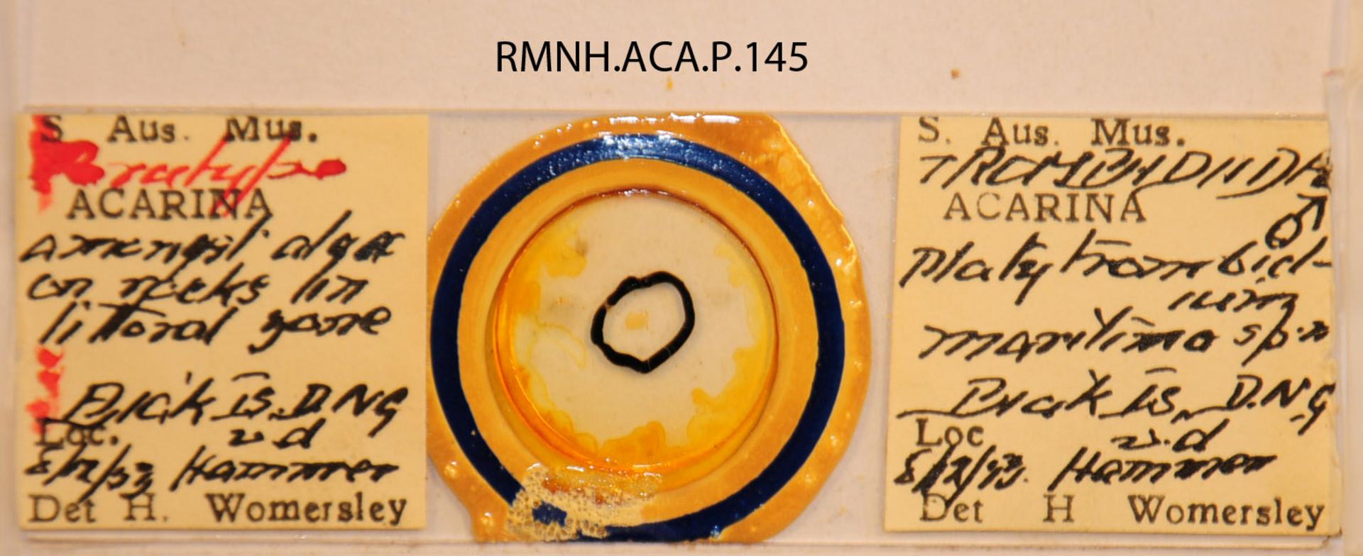RMNH.ACA.P.145 | Platytrombidium maritimum Womersley
