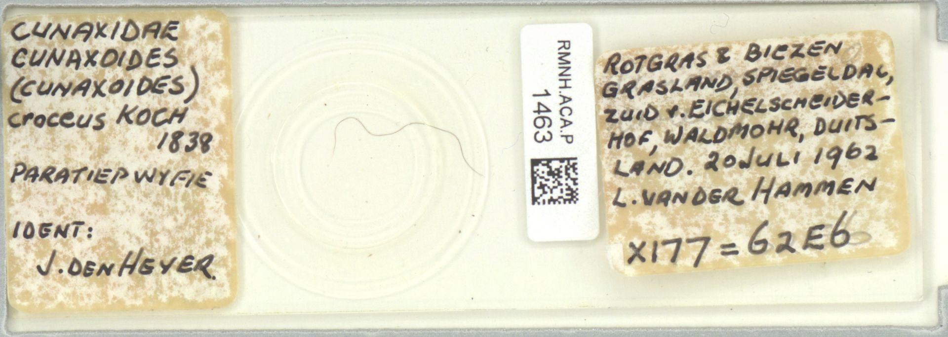 RMNH.ACA.P.1463 | Cunaxoides (Cunaxoides) croceus C.L.Koch, 1838