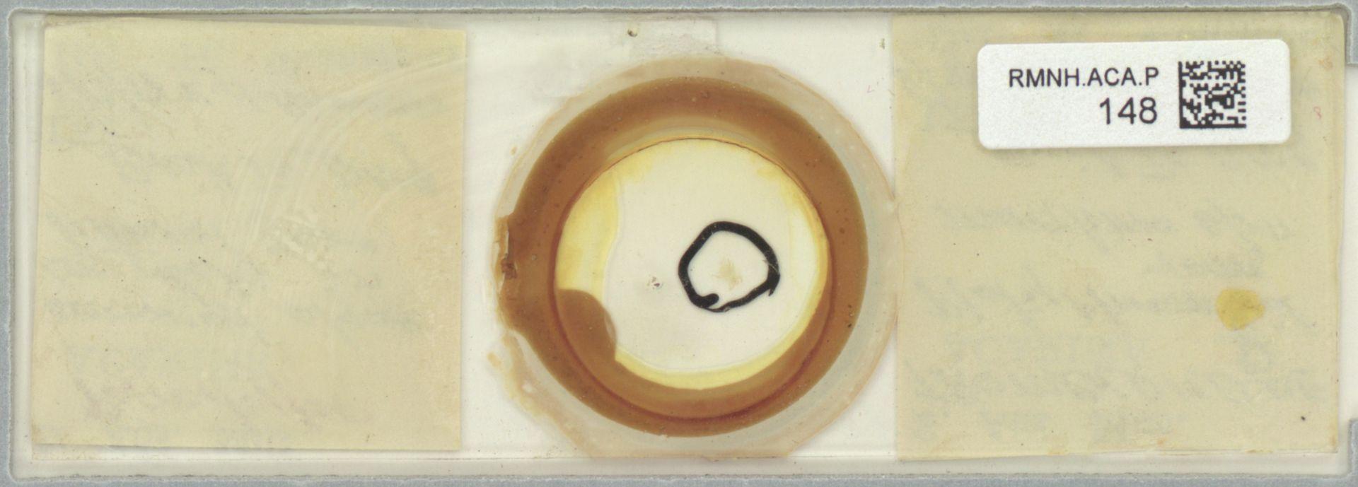 RMNH.ACA.P.148 | Platytrombidium maritimum Womersley