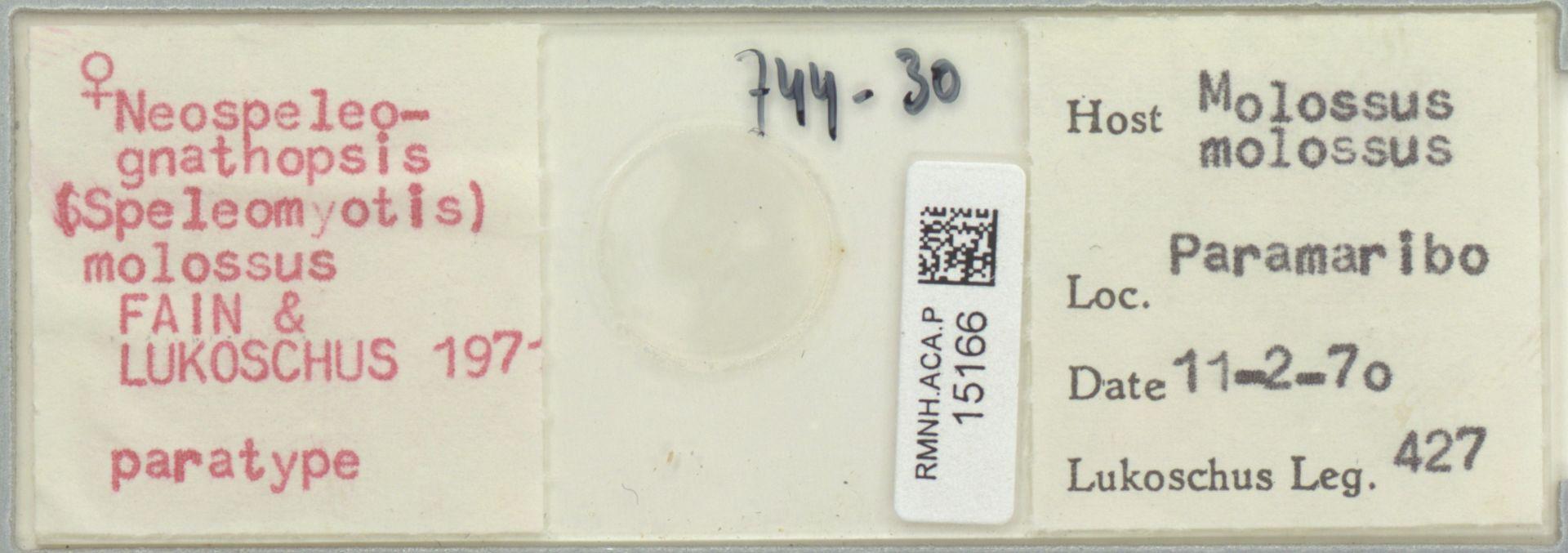 RMNH.ACA.P.15166 | Neospeleognathopsis molossus