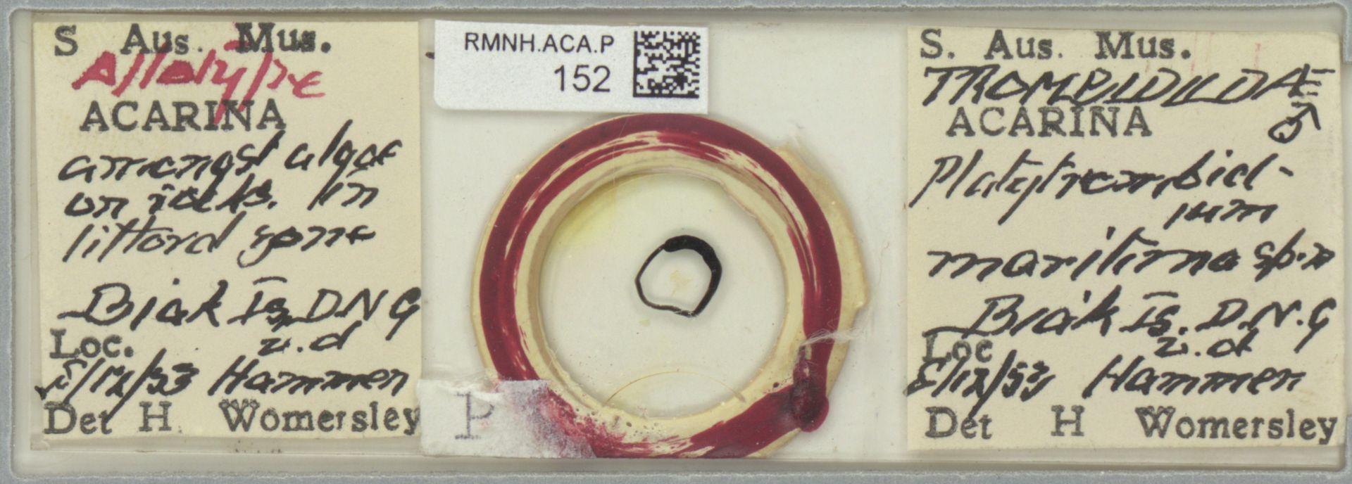 RMNH.ACA.P.152 | Platytrombidium maritimum Womersley