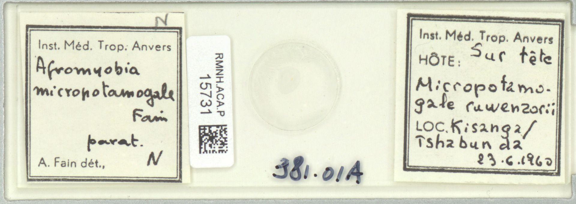 RMNH.ACA.P.15731 | Afromyobia micropotamogale