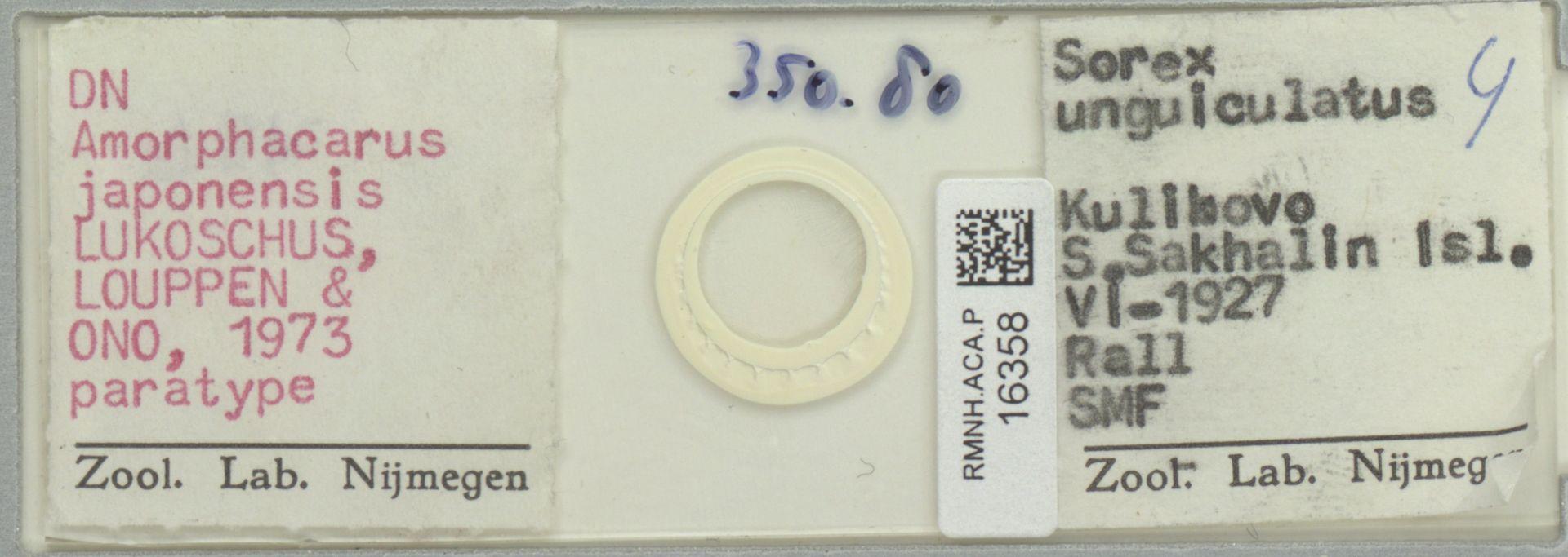 RMNH.ACA.P.16358 | Amorphacarus parvisetosus