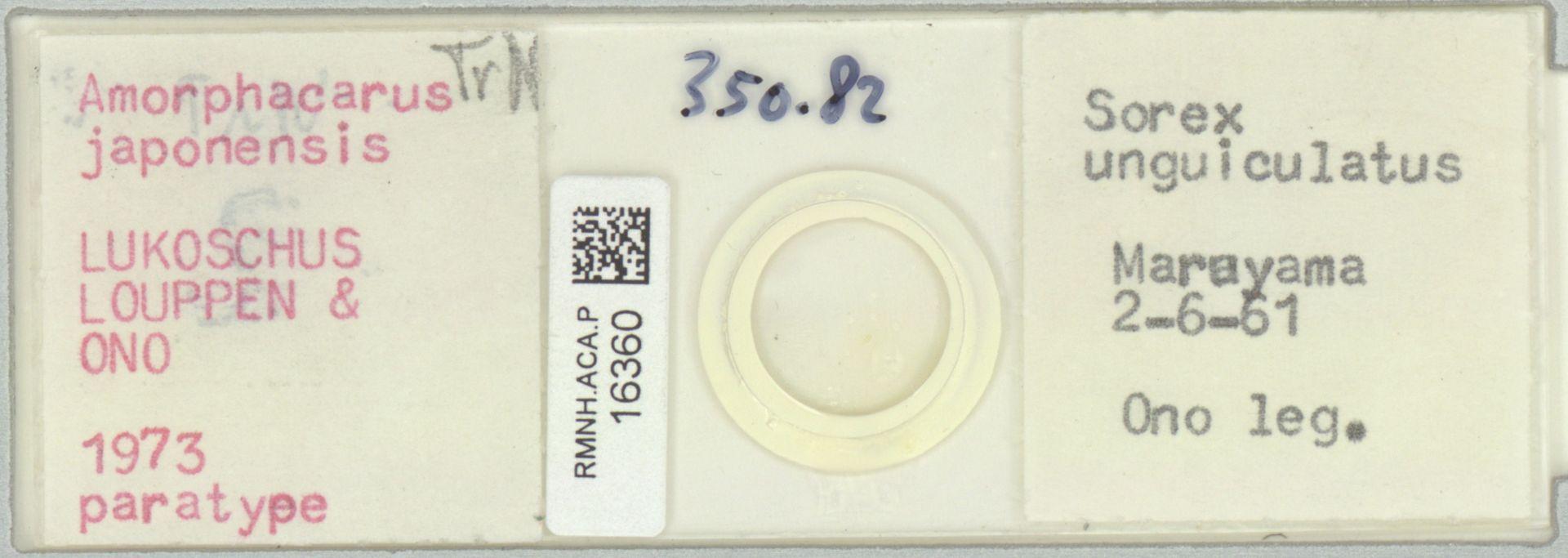 RMNH.ACA.P.16360 | Amorphacarus parvisetosus