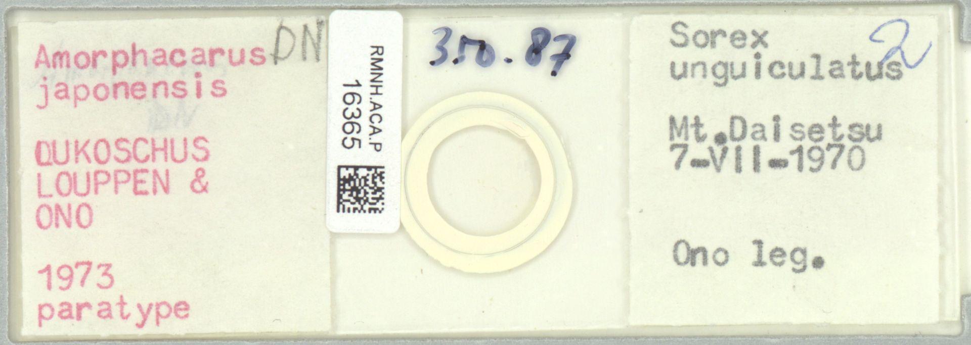 RMNH.ACA.P.16365 | Amorphacarus parvisetosus