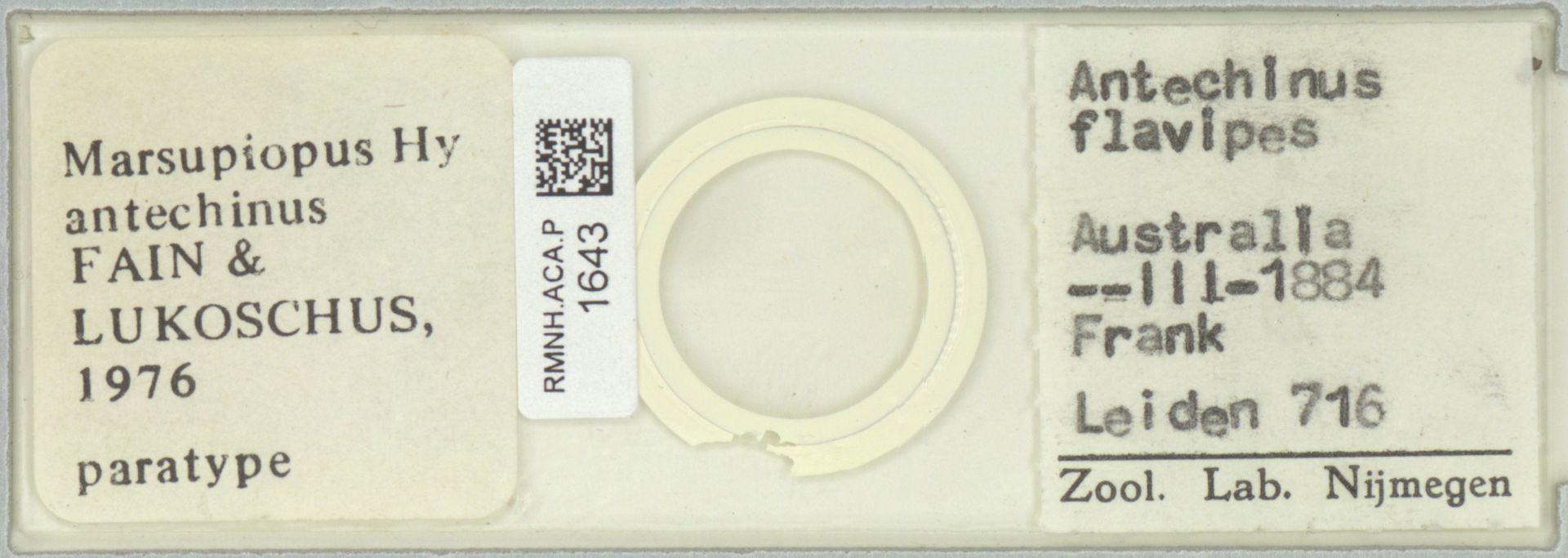 RMNH.ACA.P.1643 | Marsupiopus antechinus Fain & Lukoschus, 1976