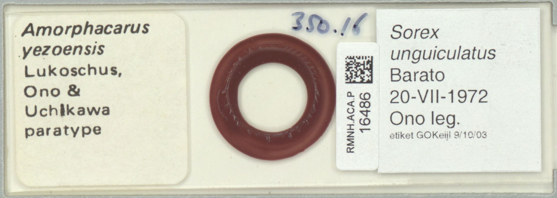 RMNH.ACA.P.16486   Amorphacarus yezoensis