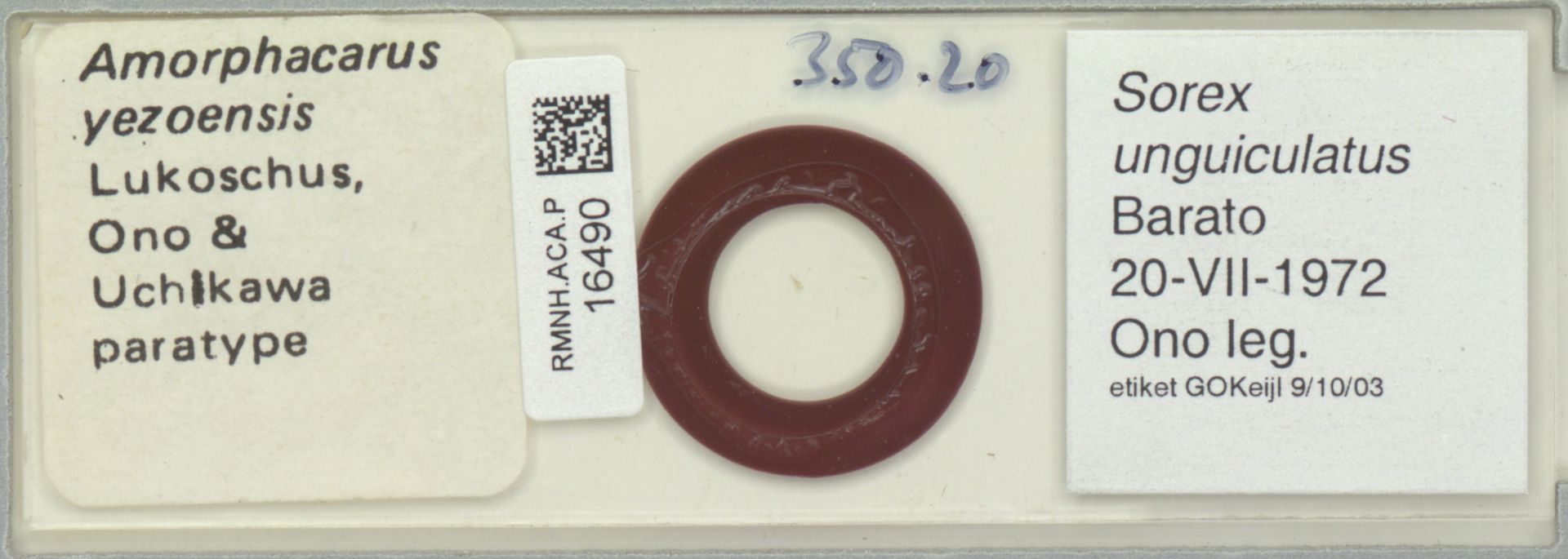 RMNH.ACA.P.16490   Amorphacarus yezoensis
