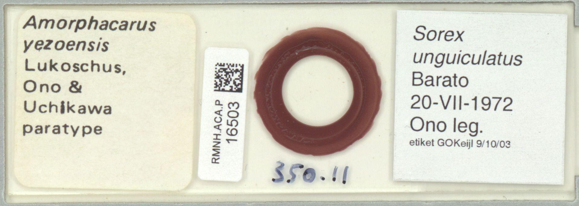RMNH.ACA.P.16503 | Amorphacarus yezoensis