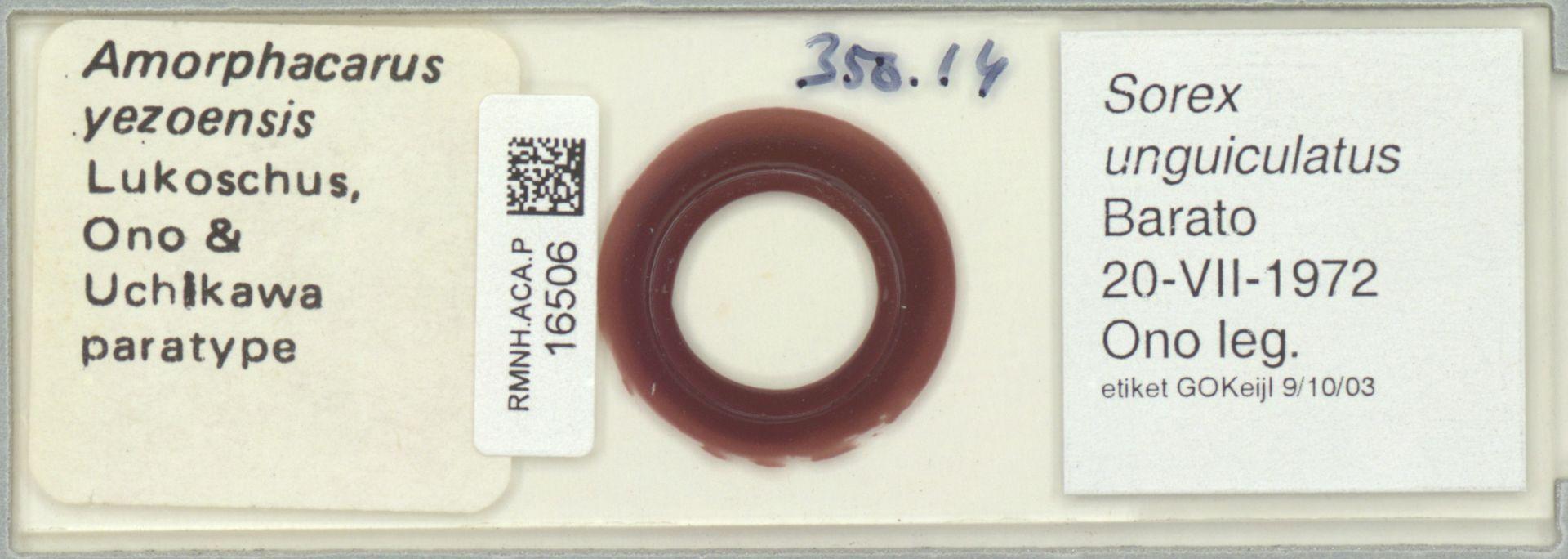 RMNH.ACA.P.16506 | Amorphacarus yezoensis