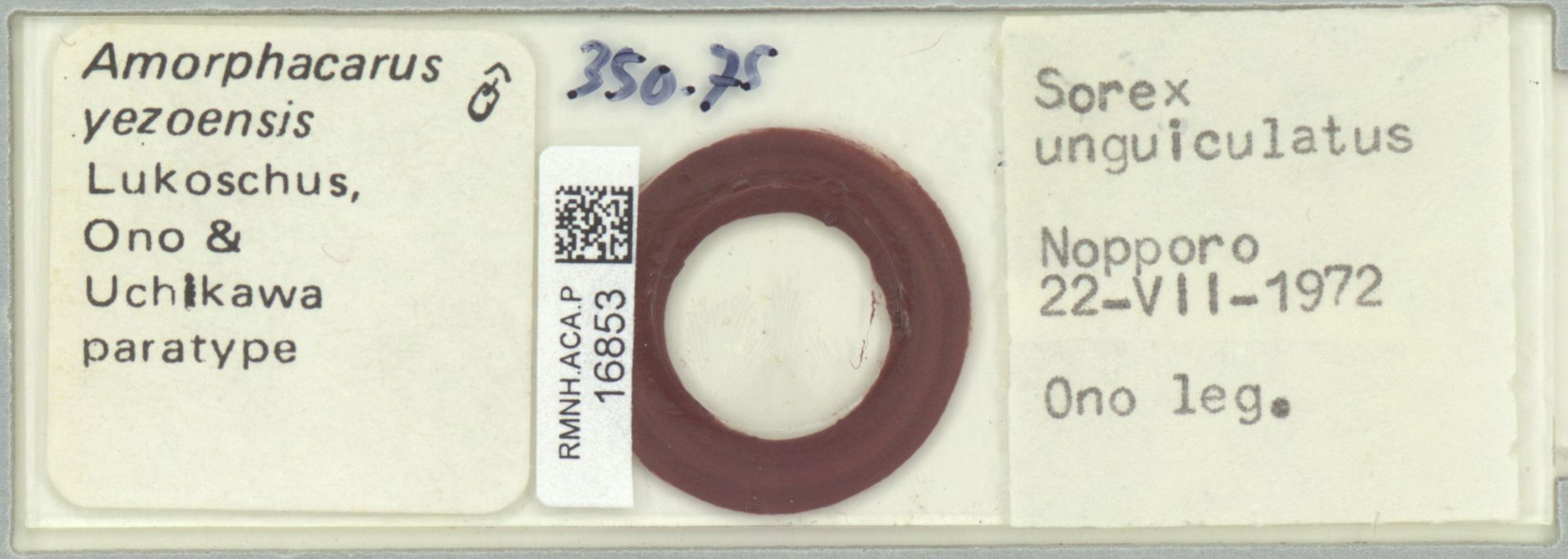 RMNH.ACA.P.16853 | Amorphacarus yezoensis Lukoschus