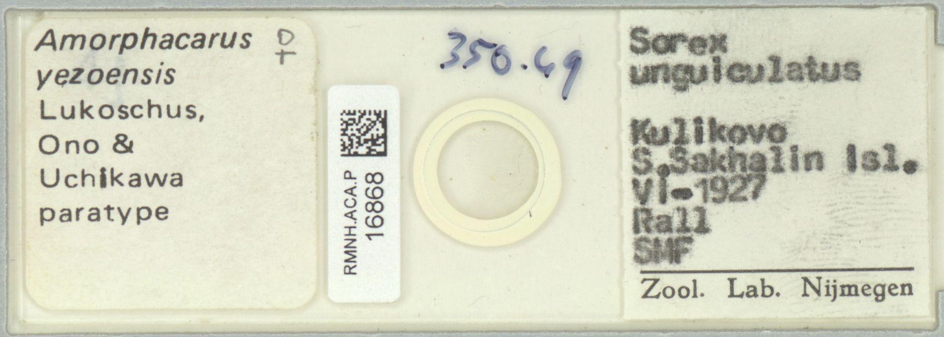 RMNH.ACA.P.16868 | Amorphacarus yezoensis Lukoschus