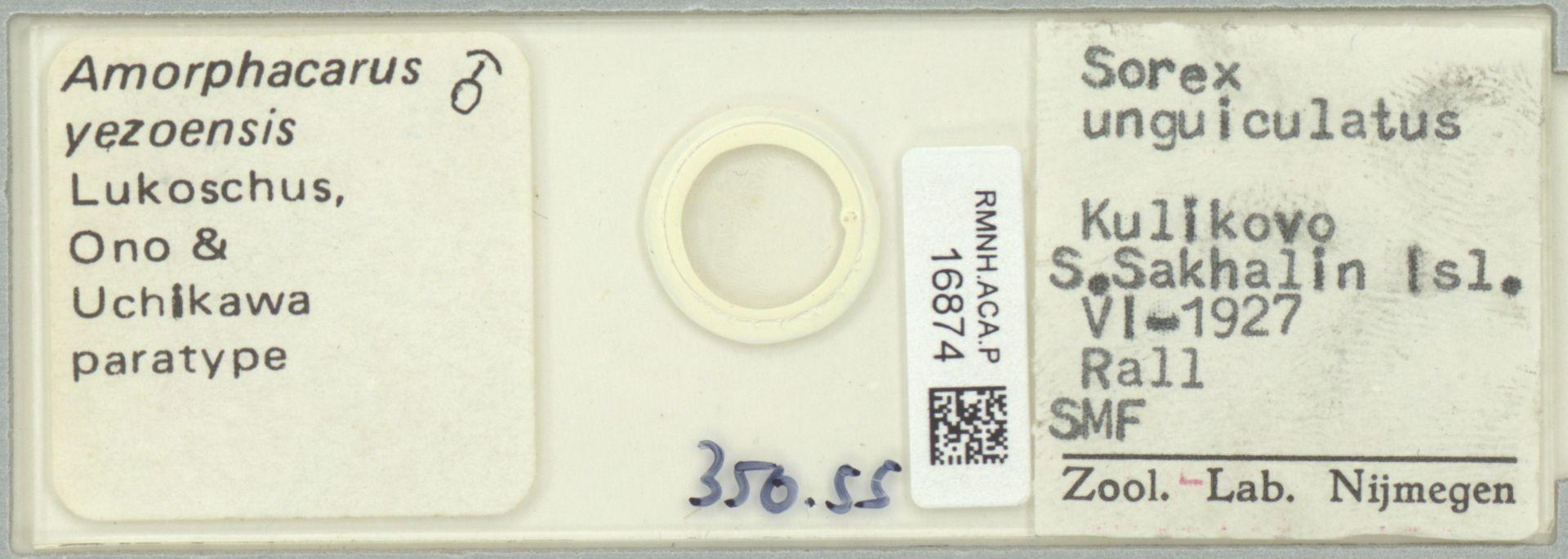 RMNH.ACA.P.16874 | Amorphacarus yezoensis Lukoschus
