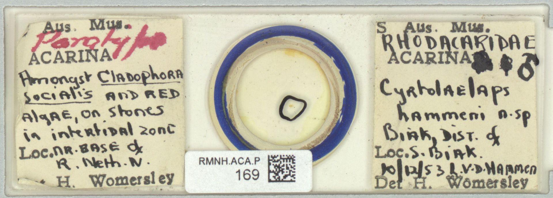 RMNH.ACA.P.169   Cyrtolaelaps hammeni Womersley