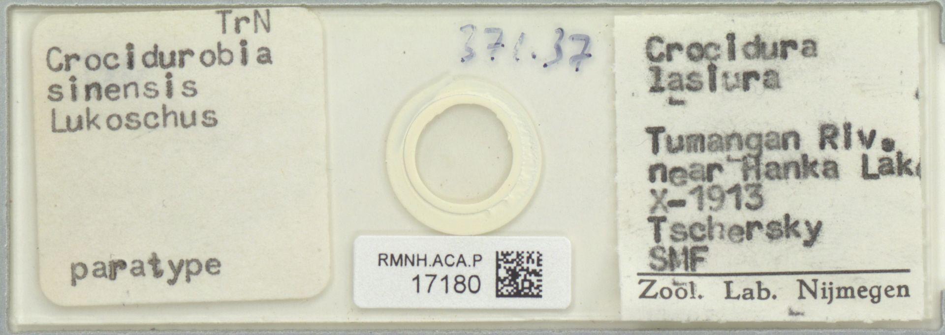 RMNH.ACA.P.17180 | Crocidurobia sinensis