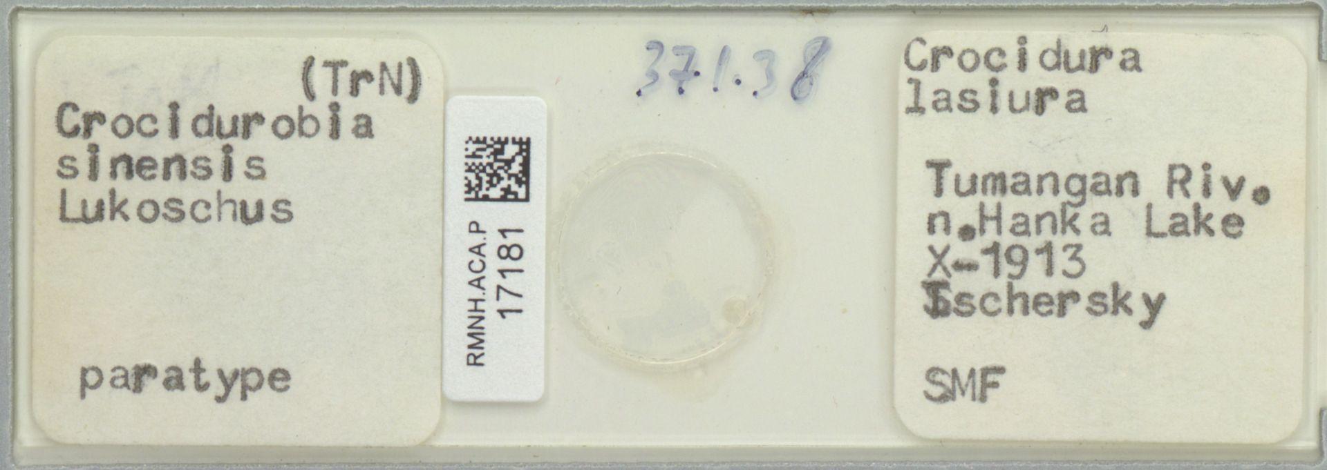RMNH.ACA.P.17181 | Crocidurobia sinensis