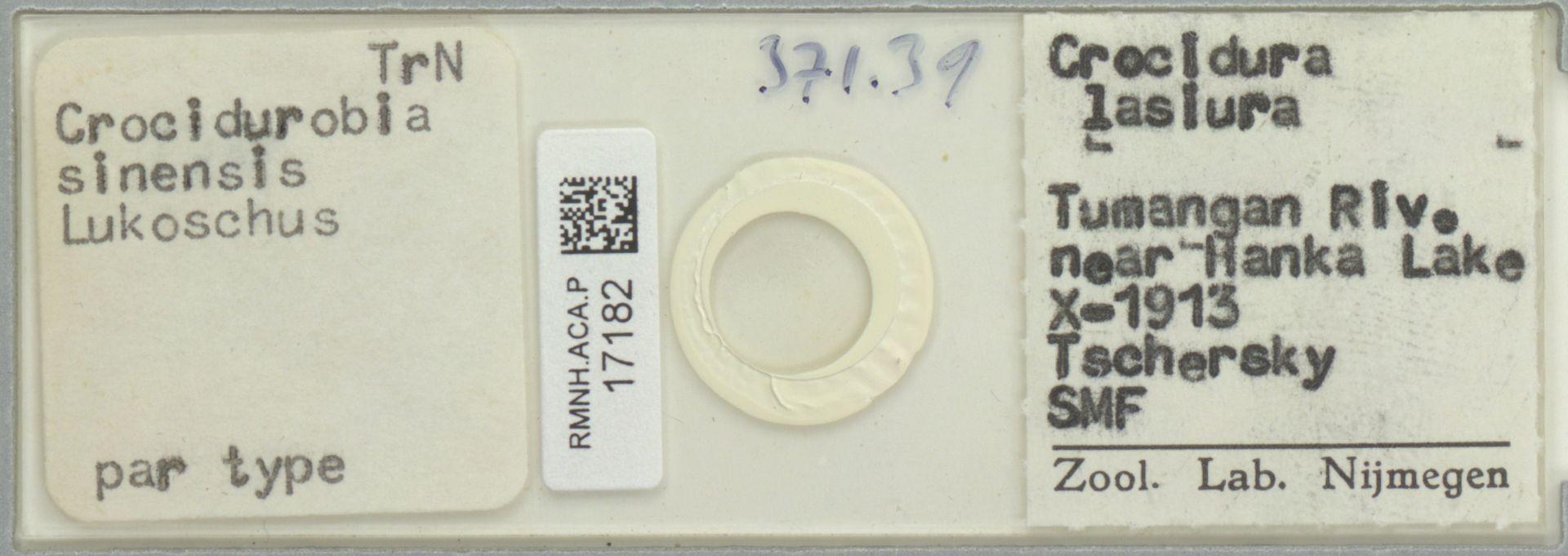 RMNH.ACA.P.17182 | Crocidurobia sinensis