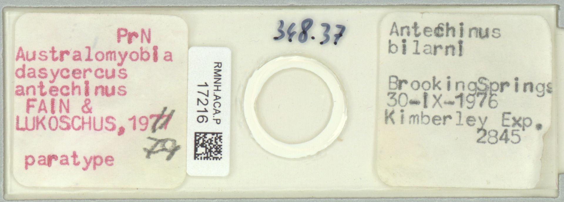 RMNH.ACA.P.17216 | Australomyobia dasycercus antechinus