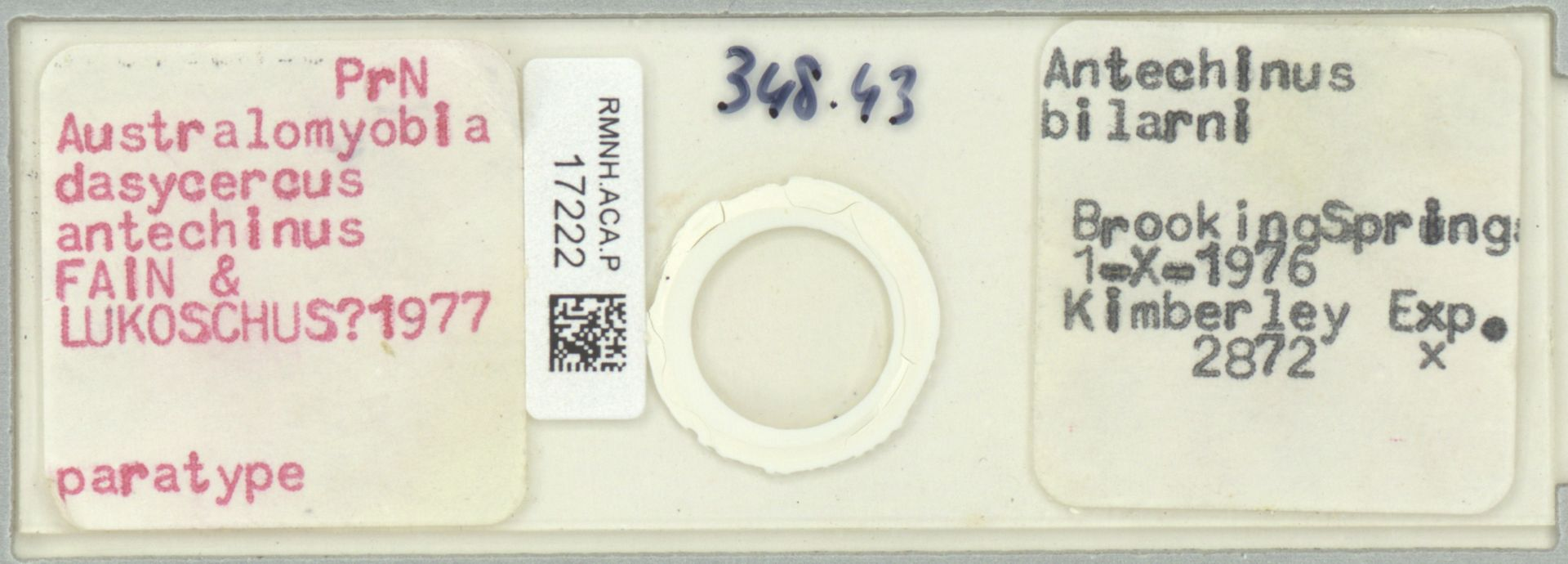 RMNH.ACA.P.17222 | Australomyobia dasycercus antechinus