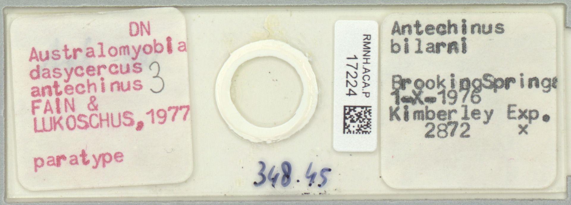 RMNH.ACA.P.17224 | Australomyobia dasycercus antechinus