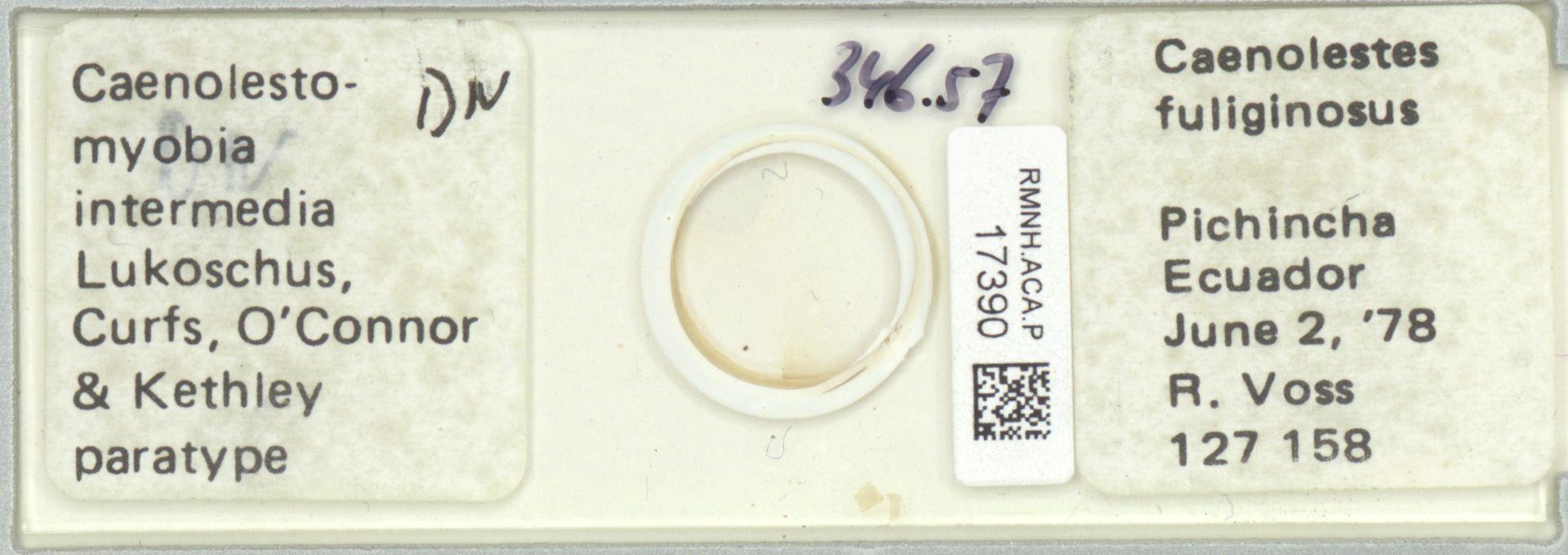 RMNH.ACA.P.17390 | Caenolestomyobia intermedia