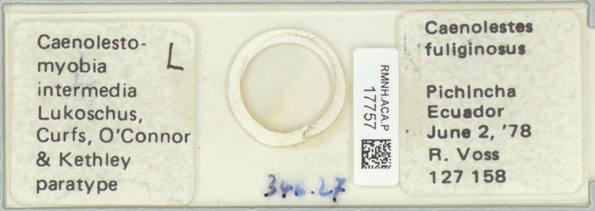 RMNH.ACA.P.17757   Caenolestomyobia intermedia