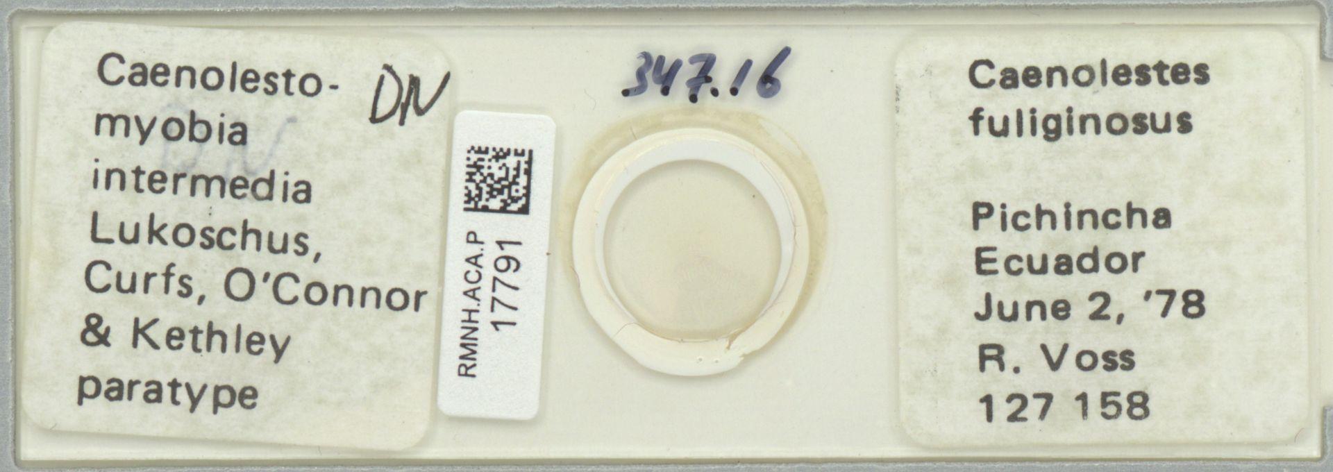 RMNH.ACA.P.17791   Caenolestomyobia intermedia