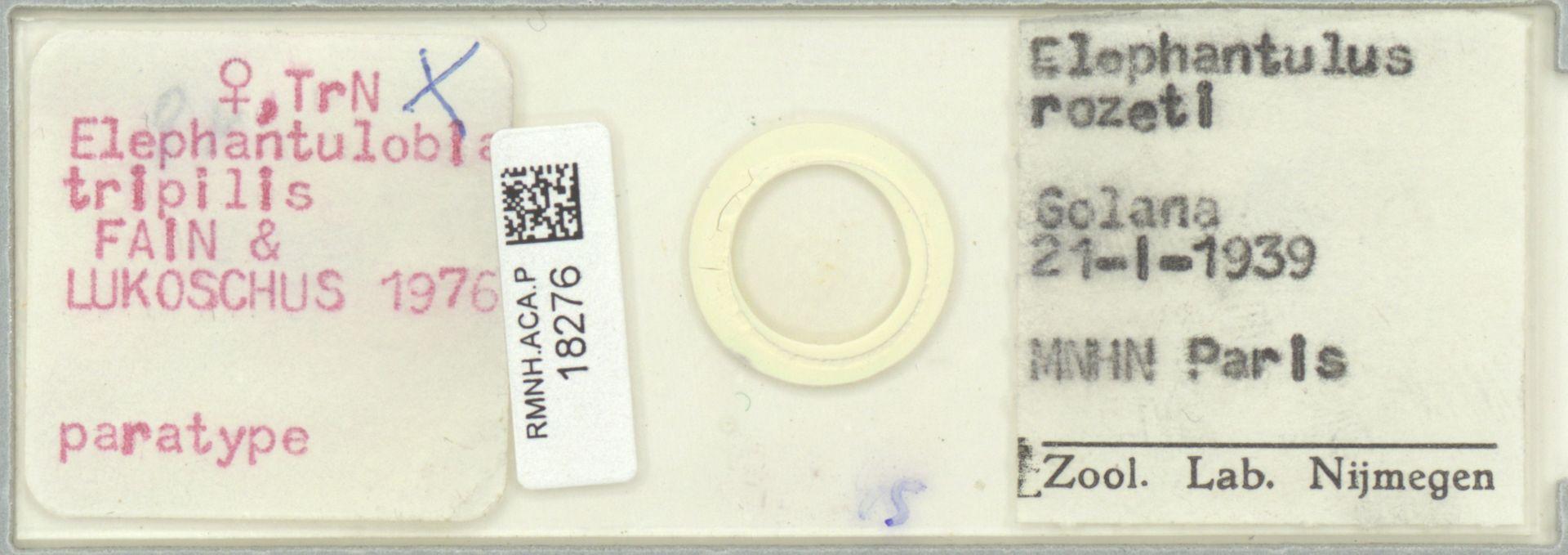 RMNH.ACA.P.18276 | Elephantulobia tripilis Fain & Lukoschus, 1976