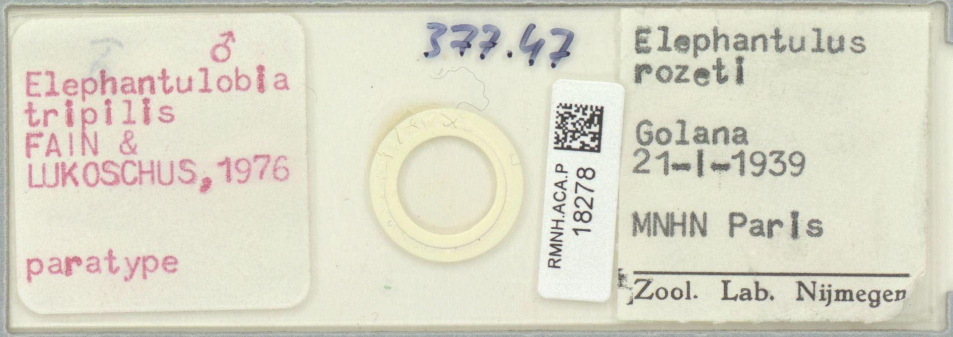RMNH.ACA.P.18278 | Elephantulobia tripilis Fain & Lukoschus, 1976