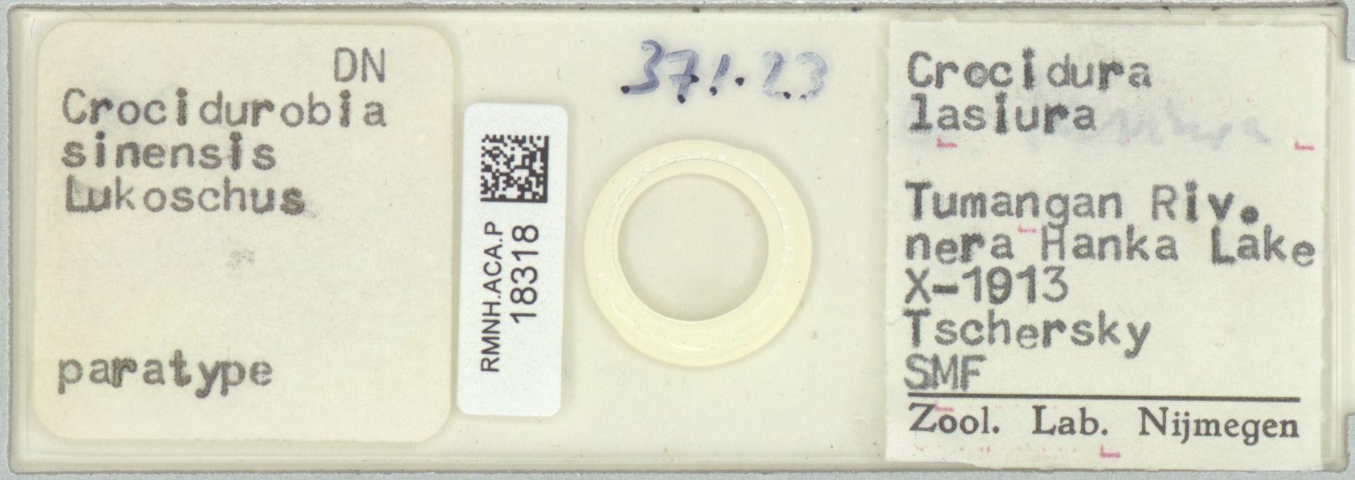 RMNH.ACA.P.18318   Crocidurobia sinensis
