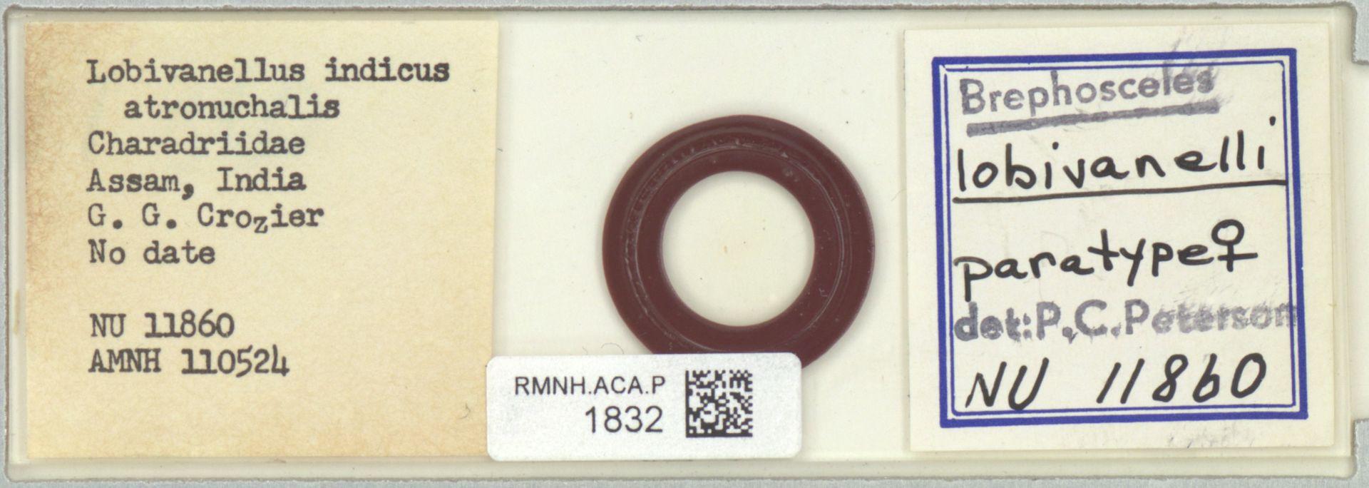 RMNH.ACA.P.1832 | Brephosceles lobivanelli P.C.Peterson