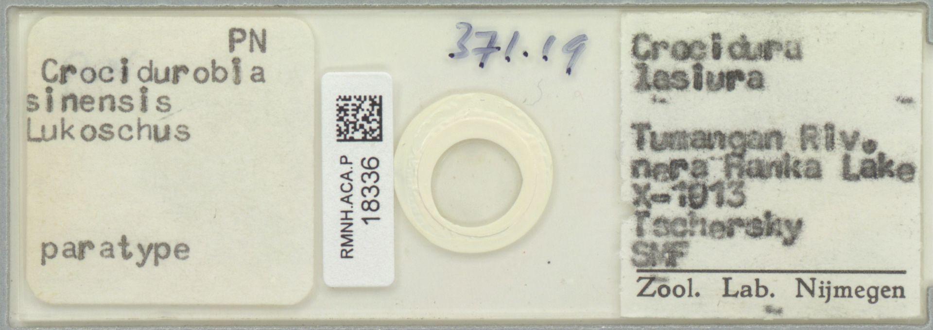 RMNH.ACA.P.18336 | Crocidurobia sinensis