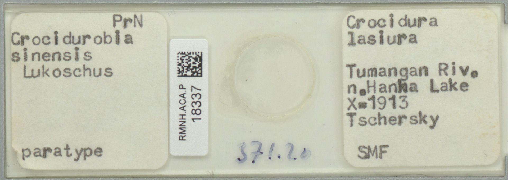 RMNH.ACA.P.18337 | Crocidurobia sinensis