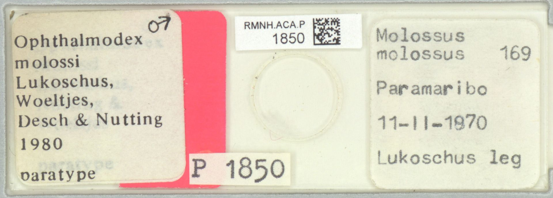 RMNH.ACA.P.1850   Ophthalmodex molossi Lukoschus, Woeltjes, Desh & Nutting, 1980