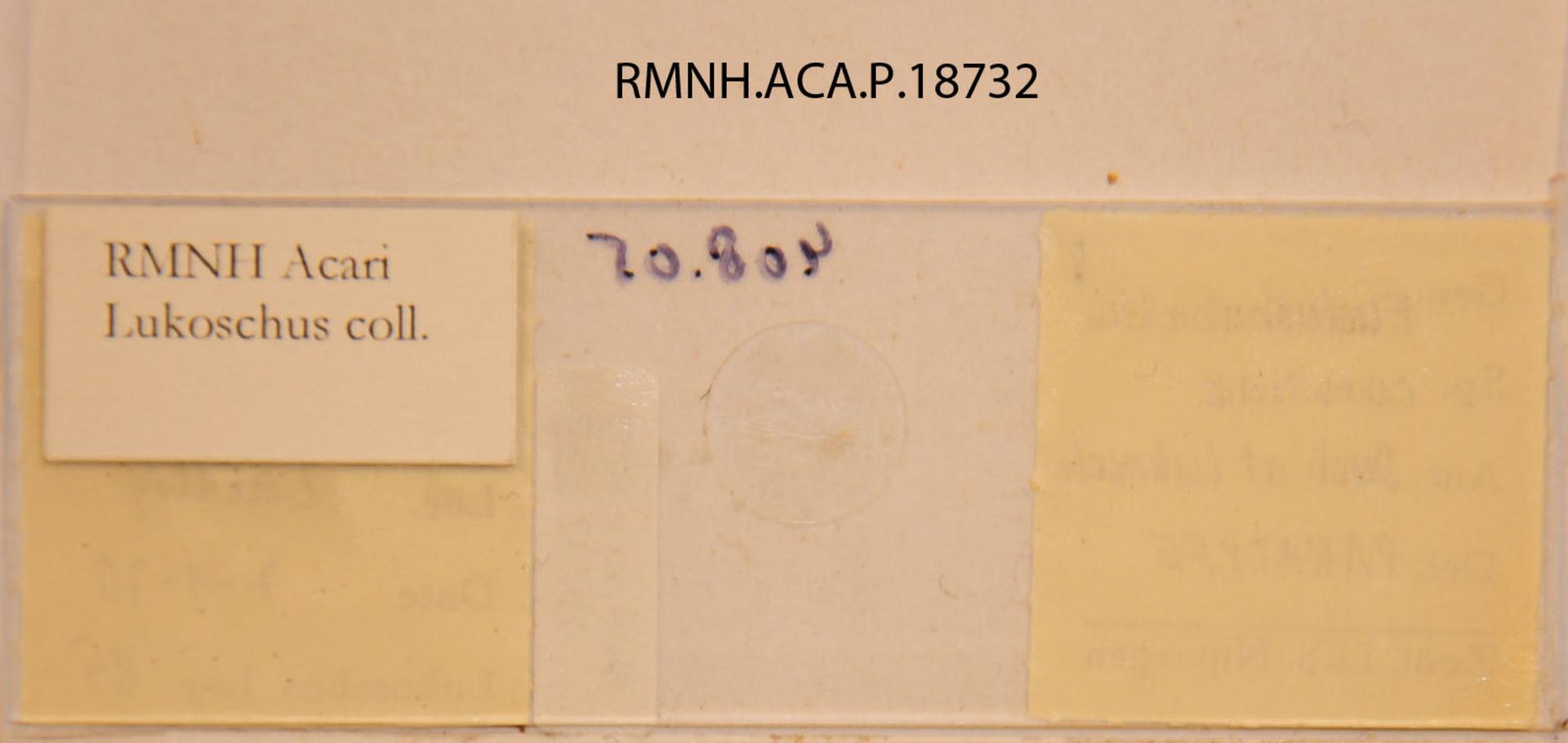 RMNH.ACA.P.18732 | Eudusbabekia carolliae Dusbábek & Lukoschus