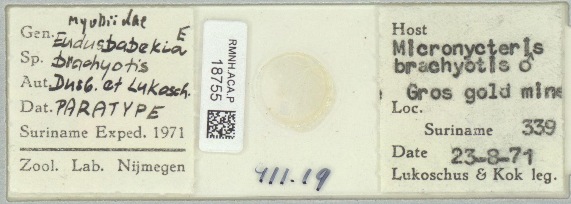 RMNH.ACA.P.18755 | Eudusbabekia brachyotis Dusbábek & Lukoschus