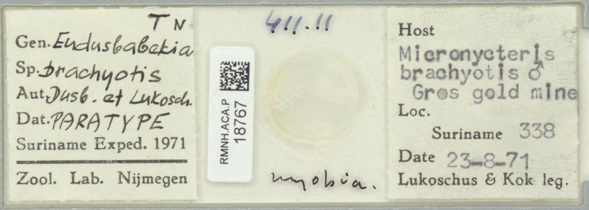 RMNH.ACA.P.18767   Eudusbabekia brachyotis Dusbábek & Lukoschus