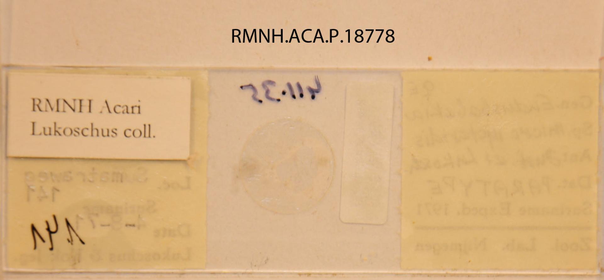 RMNH.ACA.P.18778   Eudusbabekia micronycteridis