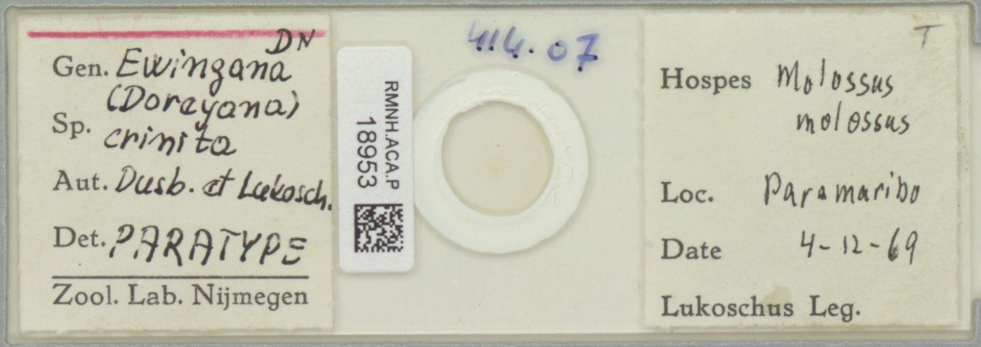 RMNH.ACA.P.18953 | Ewingana (Doreyana) crinita