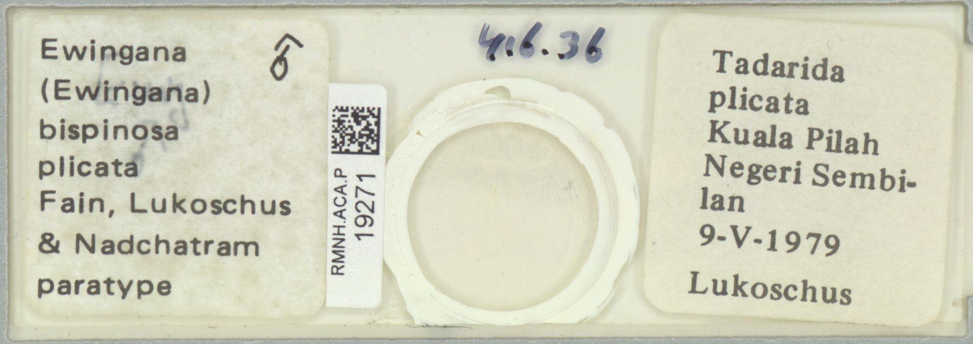 RMNH.ACA.P.19271 | Ewingana (Ewingana) bispinosa plicata Fain, Lukoschus & Nadchatram