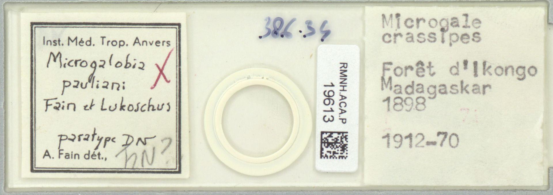 RMNH.ACA.P.19613   Microgalobia pauliani