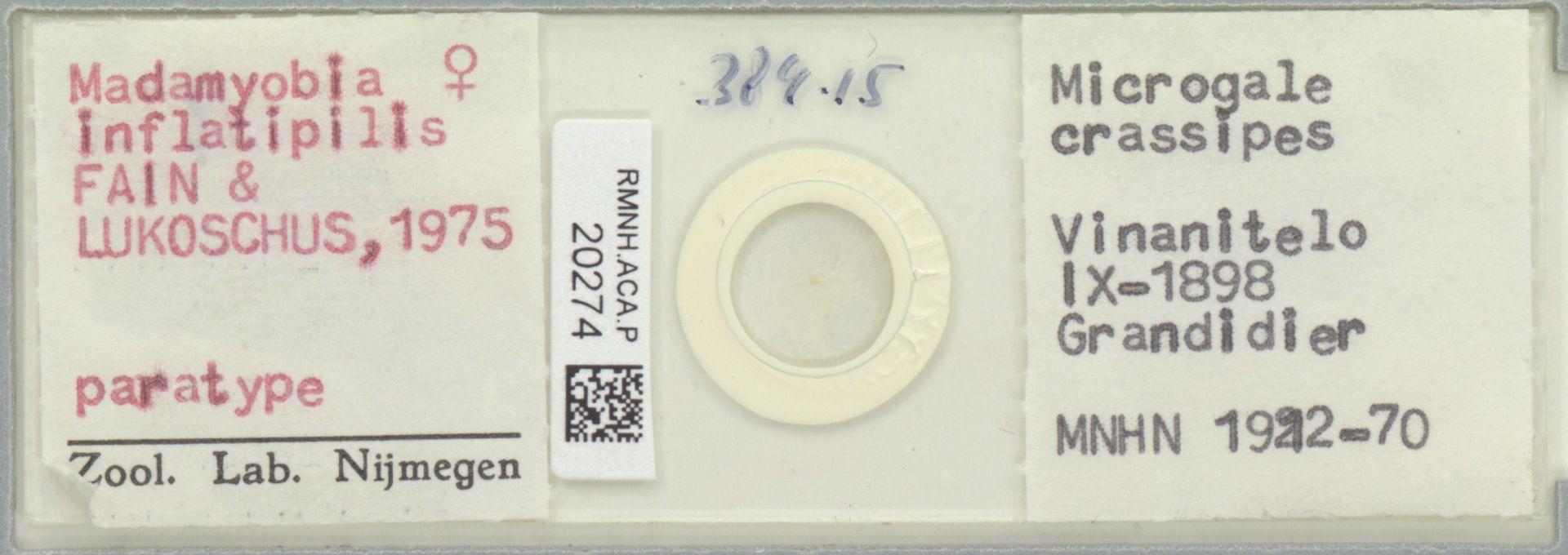 RMNH.ACA.P.20274 | Madamyobia inflatipilis
