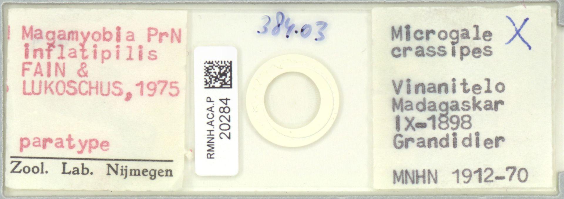RMNH.ACA.P.20284 | Madamyobia inflatipilis