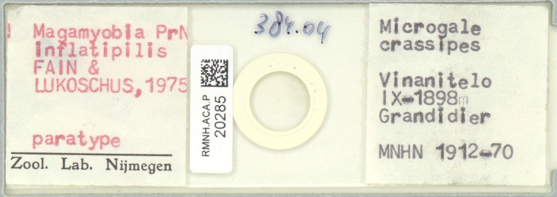 RMNH.ACA.P.20285 | Madamyobia inflatipilis
