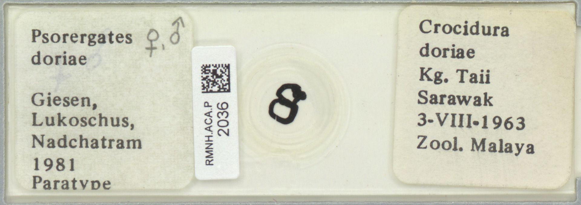 RMNH.ACA.P.2036 | Psorergates doriae Giesen, Lukoschus & Nadchatram, 1981