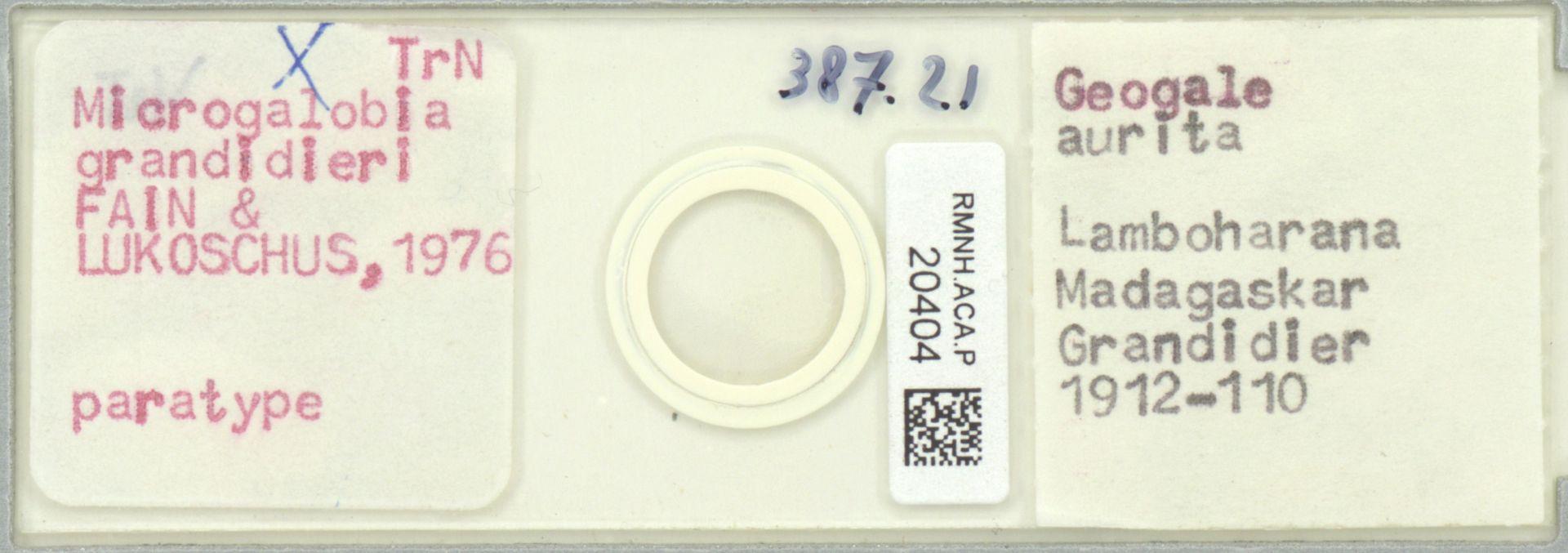 RMNH.ACA.P.20404 | Microgalobia grandidieri